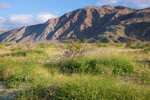 """The same """"wildflower fields"""" in the Borrego Valley along Henderson Canyon Road as they appeared in 2011 with Coyote Mountain in the background."""
