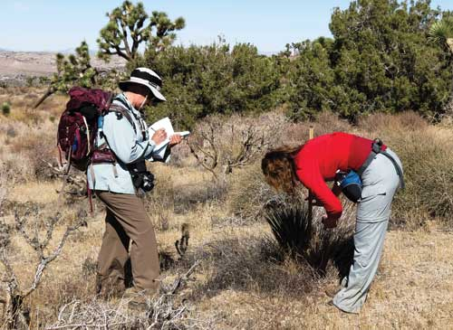 """Volunteer """"citizen scientists"""" collecting data on seedling Joshua trees, documenting that the impacts of climate change are already occurring. Cameron Barrows photo"""