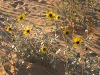 Algodones Dunes sunflower, credit Ileene Andersen